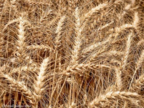 Wheat at En Dor. Photo by Ferrell Jenkins.